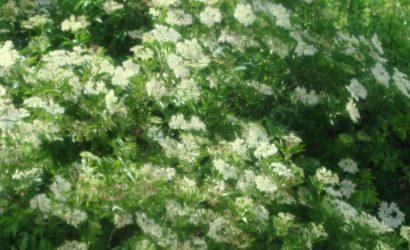 Recette de sirop de fleurs de sureau