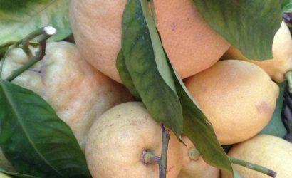 Citrons en provenance de la côte almafitaine pour un dîner napolitain