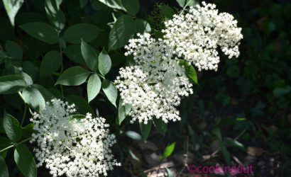 Fleurs de sureau pour faire du sirop