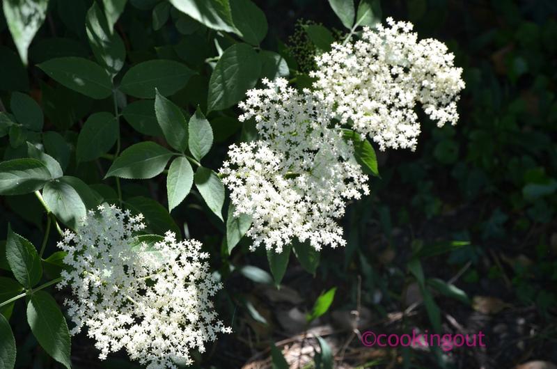 Fleurs de sureau pour faire la recette du sirop de fleur de sureau
