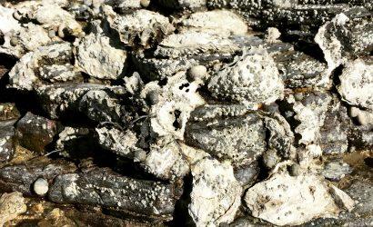 Huîtres, des huîtres, ... rien que des huîtres bretonnes sauvages