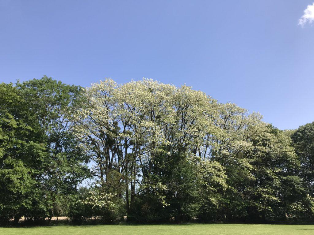 les arbres pleins de fleurs d'acacia très embaumants