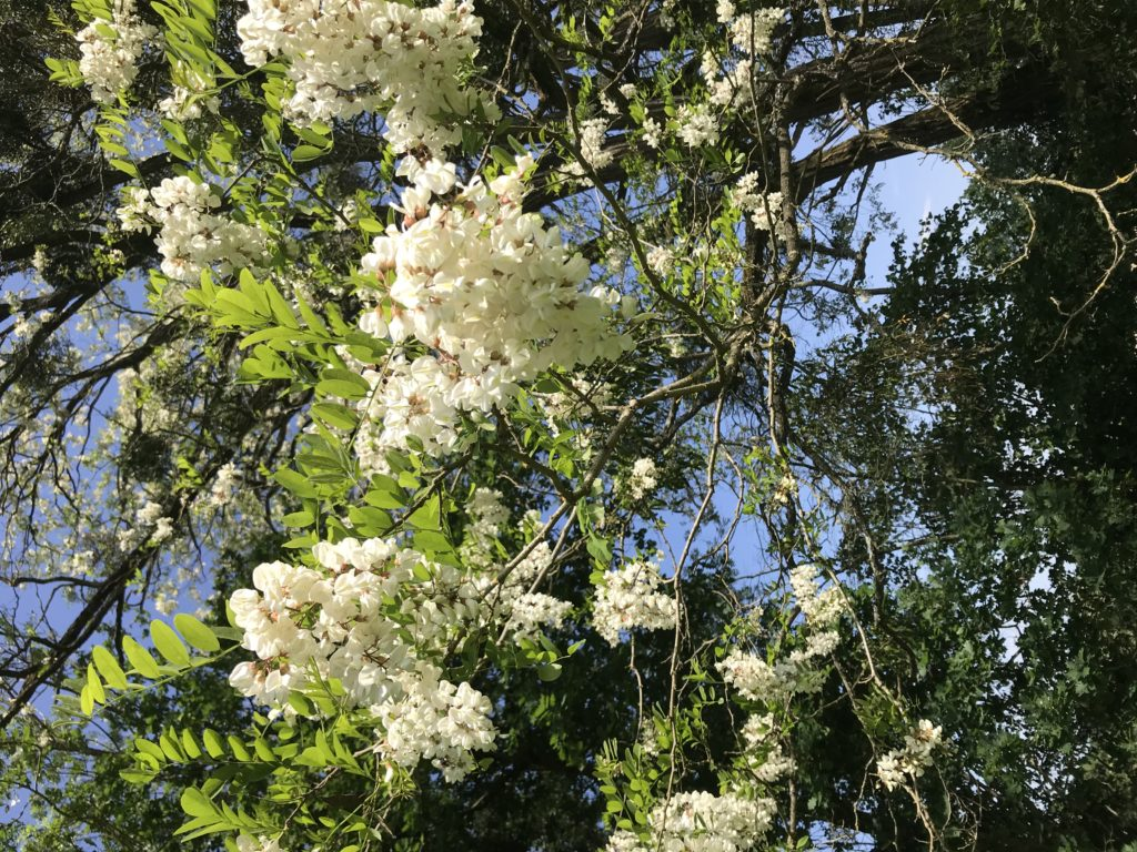 grappe de fleurs d'acacias