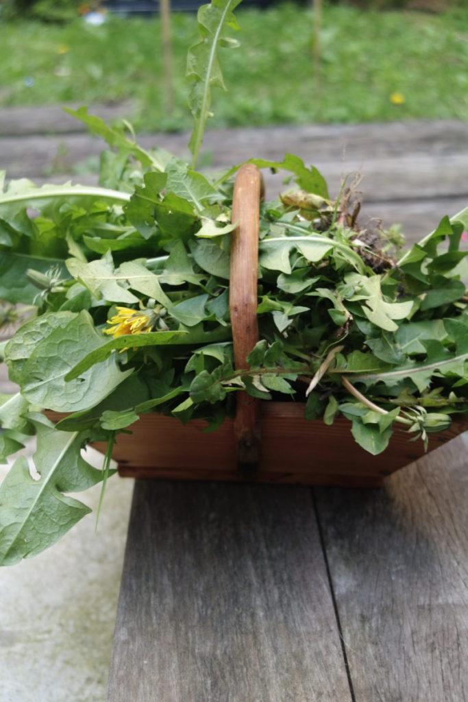 récolte de pissenlits du jardin