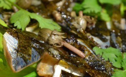 Salade de sardines crues parfumées aux algues nori et aux boutons de pissenlits