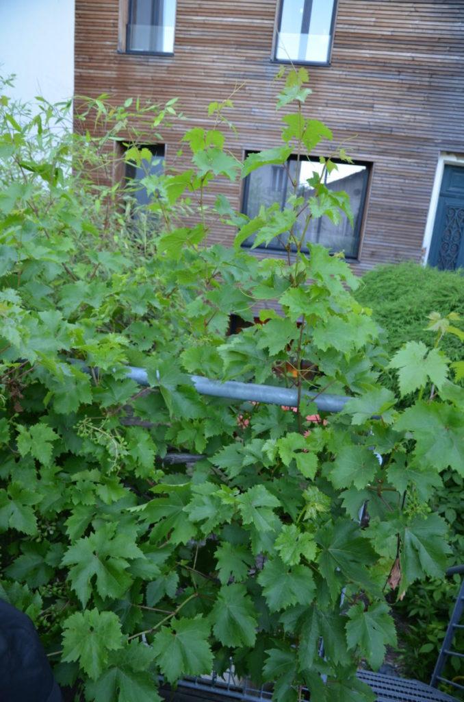 vignes et feuilles