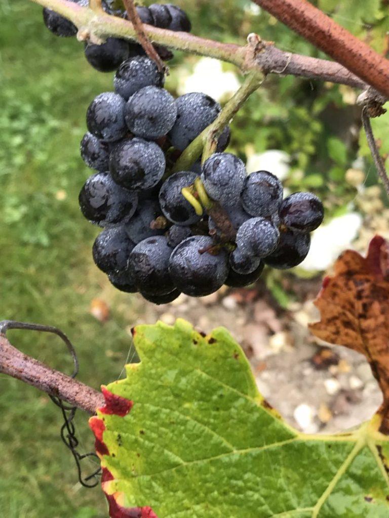 raisins pinot noir composants des champagnes Devaux