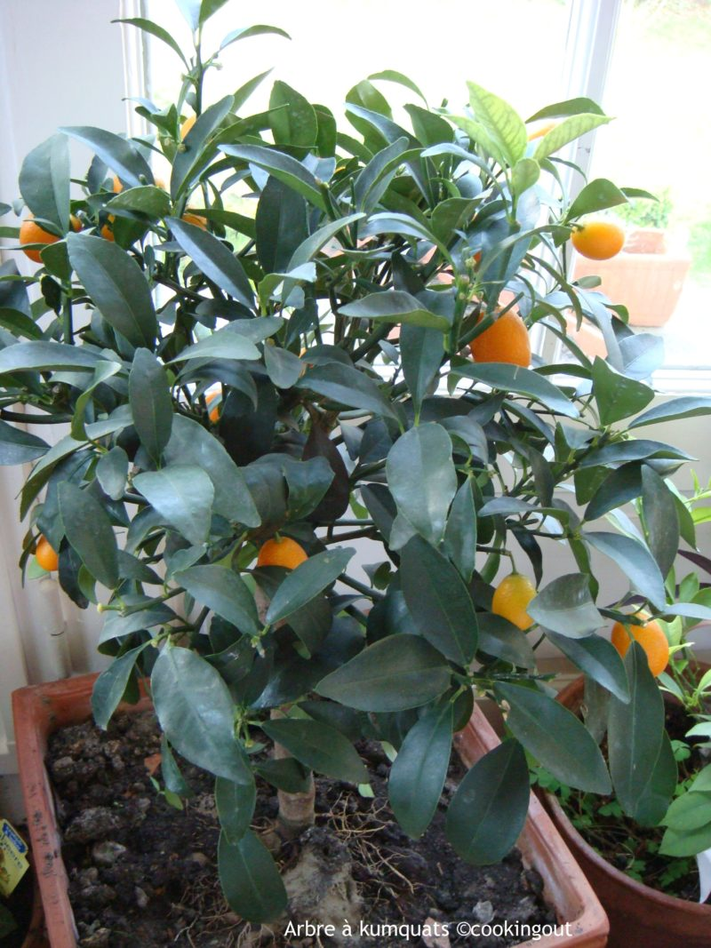 Arbre à Kumquats
