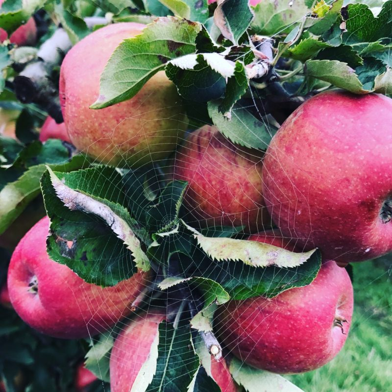 pommes du verger et toile d'arraignées