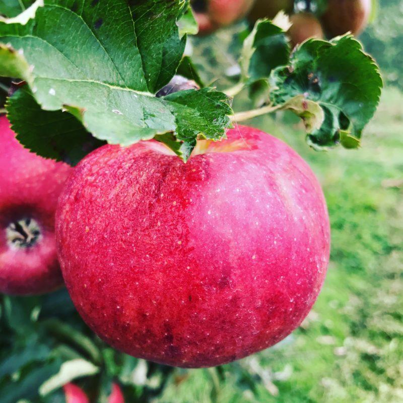 pomme rouge du verger