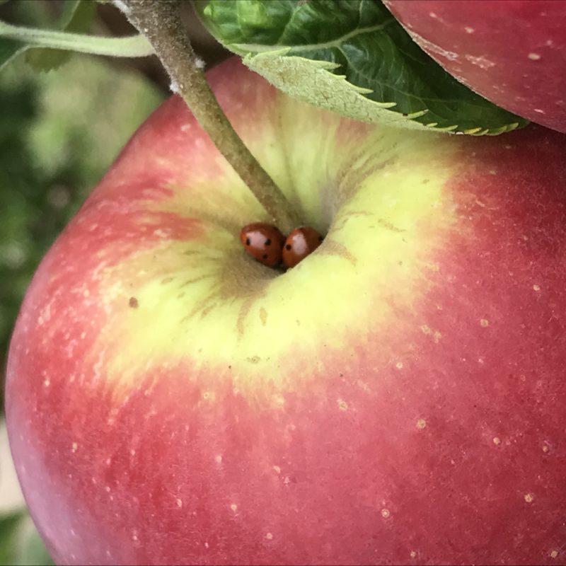 pomme du verger et coccinelles