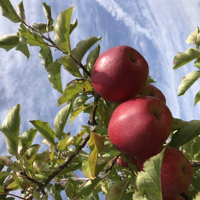 pommes du verger et ciel bleu