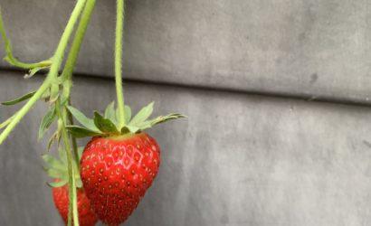 fraise de mon jardin