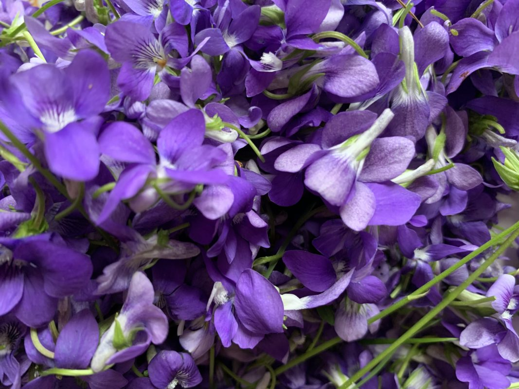 récolte de violettes des bois