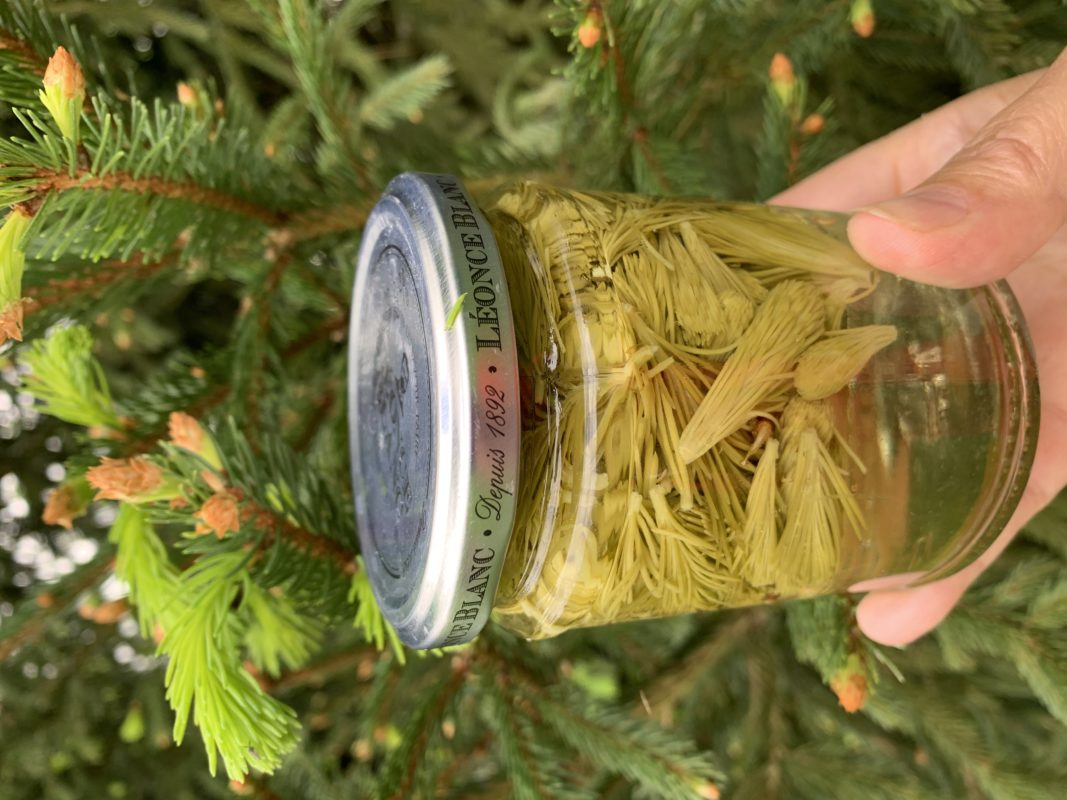 pickle de bourgeons de sapin